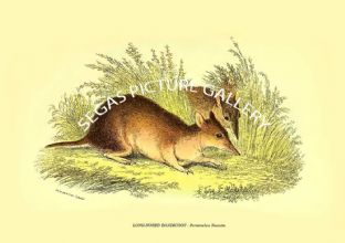 LONG-NOSED BANDICOOT - Perameles Nasuta
